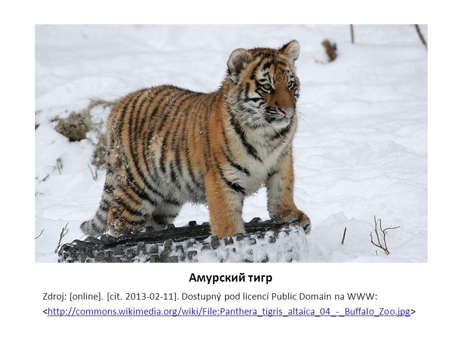 Амурский тигр Zdroj: [online]. [cit. 2013-02-11]. Dostupný pod licencí Public Domain na WWW: